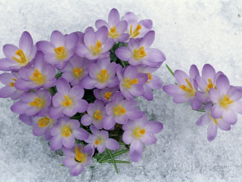 david-cavagnaro-crocus-flowering-in-the-snow[4]